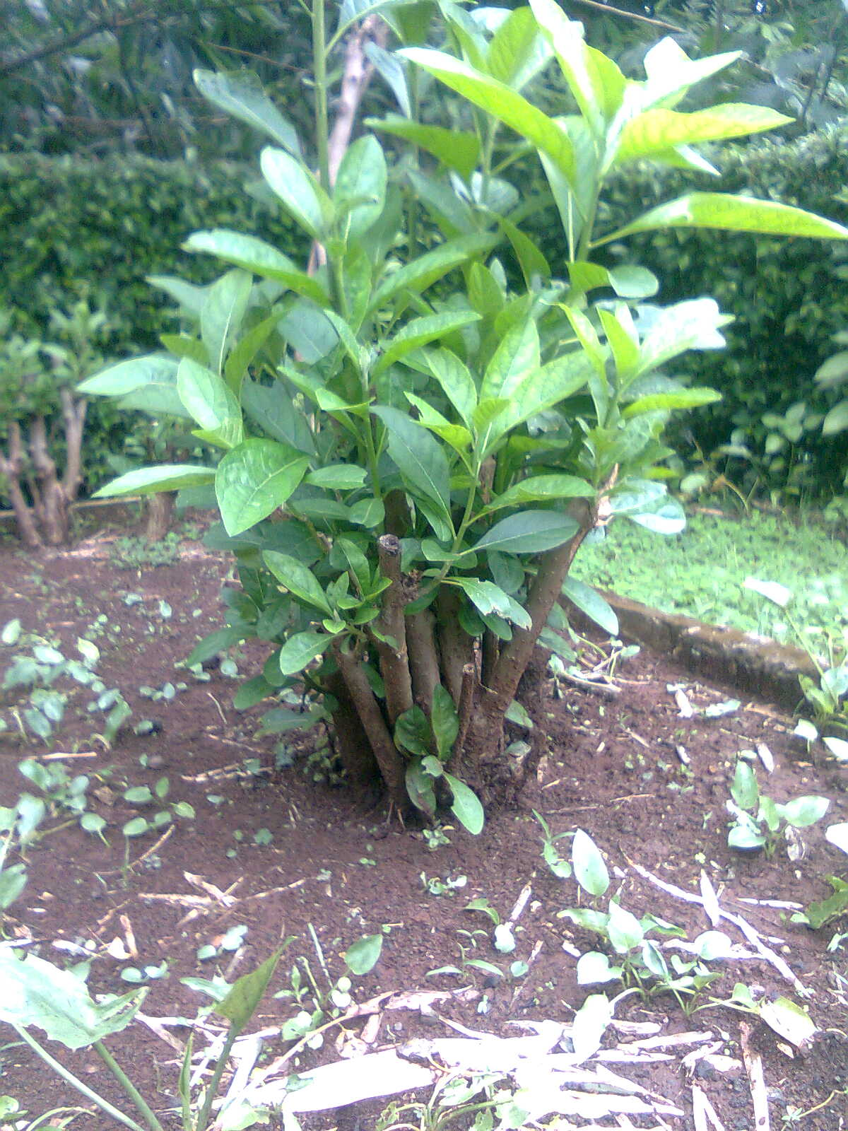 Tunas daun afrika selatan