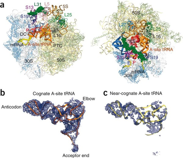 Overall view of the ribosome in two different orientations. Ribosomal elements around the A-site tRNA are highlighted in colors and labeled.
