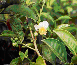 bunga Teh