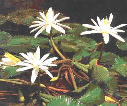 bunga Tunjung